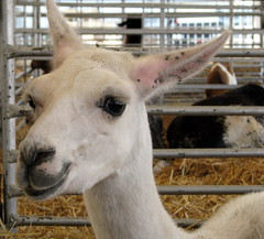 100 Things to see at the fair #56: Llama