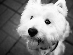 (paulh192) Tags: bw dog home sepia canon kirby michigan westie canine westhighlandwhiteterrier grandrapids mansbestfriend