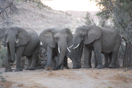 desert elephants, having a discussion