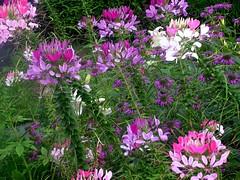 A Cleome Garden (sandra_cheatham) Tags: flowergarden cleome