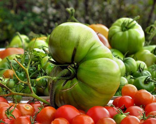 freaky tomatoes 4943 R