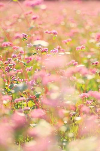 栗橋町の赤花蕎麦畑。。。
