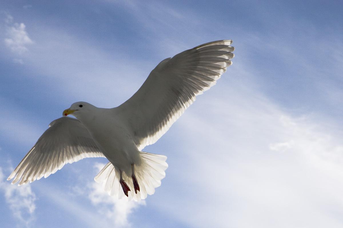 10443---Seagull