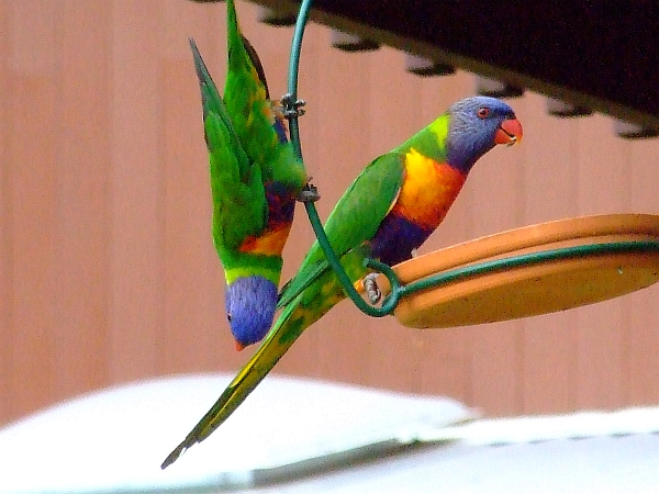 parrots on swing set 04