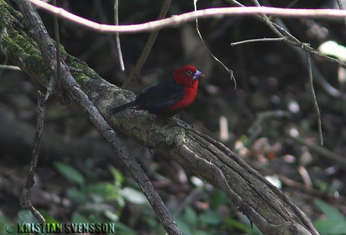 Red-headed Bluebill (Spermophaga ruficapilla) by macronyx.