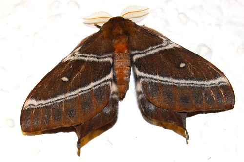 Giant silkworm moth, Saturnidae