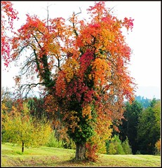 Autumn Colors (Habub3) Tags: autumn tree nature colors germany landscape deutschland photo leaf nikon colorfull herbst natur wiese autumncolors blatt landschaft bltter baum bunt farben obst d300 birnbaum herbstfarben obstwiese viewonblack theunforgettablepictures colourartaward habub3 adelbergsee