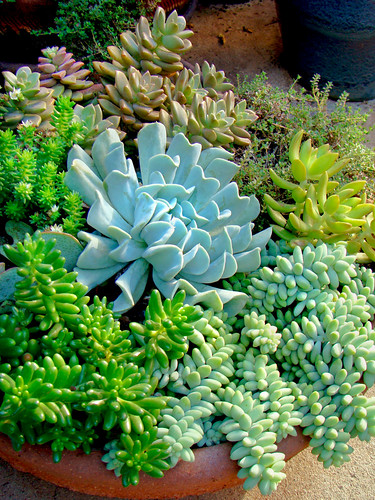 Mixed succulents by mondomuse