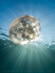 Moon Jelly Eclipse - Bluefish Cove, Point Lobos (Jim Patterson Photography) Tags: california sun jellyfish underwater dive montere
