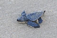 DTG_6517 (Strange Bird Photos) Tags: sea turtle oliveridleyturtle nuevovallartamexico lepidochelysolivacea jayailworth ailworthstrange photographybaby strangebirdphonuevo mexicojay turtletortugababy