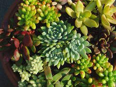 Succulents for the holidays (mondomuse) Tags: venice garden losangeles succulent container patio variegated organic southerncalifornia crassulaceae succulents portulacaceae sedumrubrotinctum droughttolerant variegata burrostail variegation christmascheer explored anacampserosrufescens hugyourcacti cactisucculentsbulbplants donkeystail goldensedum sedumadolphii sunriseplant anacampserostelephiastrum crassulaplatyphylla sedumburitto sedeveriabluemist crassulaplatyphyllaburgundy