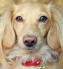 Honey, the blonde dachshund (Doxieone) Tags: christmas red dog holiday english costume bell cream dachshund deer honey blonde 12 collar jingle coll 2do theset honeydog englishcream xmas2008 honeyset 12daysofhoneyset2008