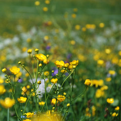 Just a Spring Clean (NowJustNic) Tags: flower yellow austria sterreich lyrics spring nikon buttercup bokeh montafon meadow ledzeppelin squared tyrol stairwaytoheaven vorarlberg 500x500  kristberg d80 nikkor18135mm antiblues