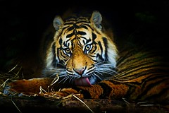 Tiger, Tiger, Burning Bright (sparky2000) Tags: cats nature animal animals cat mammal zoo scotland feline edinburgh natural stripes tiger scottish bigcat sumatrantiger mammals naturalworld bigcats animalkingdom mammalia edinburghzoo   flickrsbest pantheratigrissumatrae platinumphoto anawesomeshot sparky2000 overtheexcellence stuartreynolds stuartrobertsonreynolds robersonreynoldsphotography