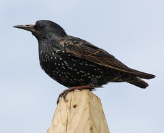 Starling (Sturnis vulgaris) (Gaz-zee-boh) Tags: ireland bird nature seaside wildlife starling shore ornithology sturnusvulgaris coclare featheryfriday nikond40 almostanything liscannorbay