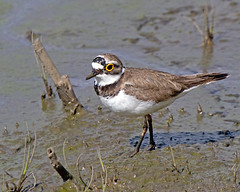 Little Ringed Plover (Andrew H Wildlife Images) Tags: bird nature wildlife warwickshire avian brandonmarsh canon7d ajh2008