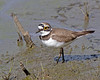 Little Ringed Plover (Andrew Haynes Wildlife Images) Tags: bird nature wildlife warwickshire avian brandonmarsh canon7d ajh2008