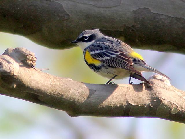 Yellow-rumped Warbler 20110509