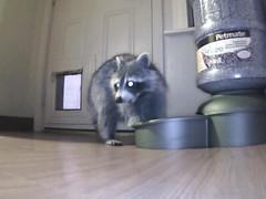00606E906269(IPCam 3)_m20110612195656 (TheApps4U.com) Tags: door camera food pet house motion kitchen night cat video floor candid kitty feeder indoor hidden infrared tray raccoon sensing