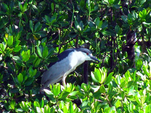 IMG_5728-Estero-Bay-Black-Crowned-Night-Heron