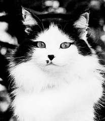 bw01023 (Topyti) Tags: cats white black animal cat olympus minet gatto gatti om1 cc300 cc100