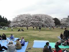 花見/砧公園 2008 2