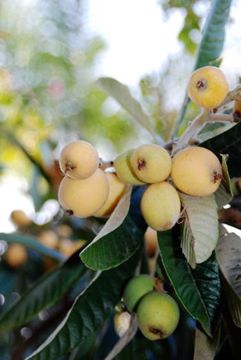 loquat ripening