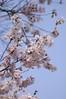 彼岸桜, Yoyogi Park