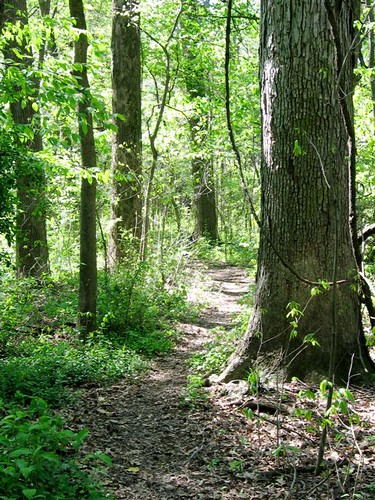 white oak on northeast trail