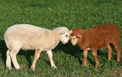 Which lamb is better?