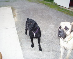 Maggie and X (muslovedogs) Tags: dogs canecorso maggie excalibur mastiff