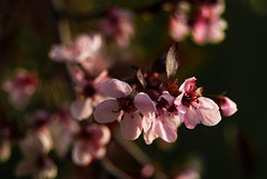Flowering Plum (Tim Stone) Tags: floweringtree floweringplum bokehlicious