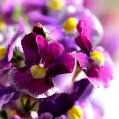 ...thrilled to the very edges of your soul... (janoid) Tags: flowers macro heart xo simplythebest xoxoxoxox janslightstyle janoidmagic janoidsstyle xo4u theyarecallednemesiawhichiveneverheardof buttheyaresocheerfulandlovely mycomputerisstillactingupactuallyitsonitswayoutofcommissionaltogether ivemissedallofyou springtimefinally thesearereallytiny illtrytobabyitalongtocatchupwithcommentingthisweekend talktoyourcomputer