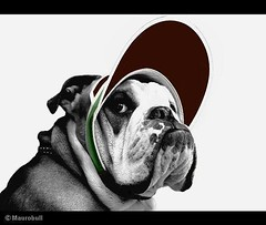 English Bulldog  - Dog Fashion Portrait (Mauro Bull) Tags: england dog chien pet white black english blanco animals puppy photo tv cool y negro bull bulldog perro cap cachorro trunk ingles tronco mascota mauro chiot     potho platinumphoto aplusphoto theunforgettablepictures maurobull rubyphotographer grouptripod