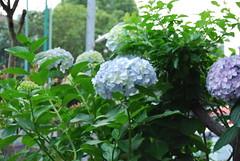 Hydrangea No.1@my house garden