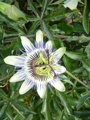 Ore - fleur