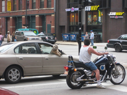 cranky dog takes on biker in Chicago