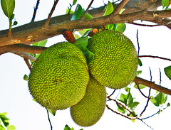 Langka . largest tree borne fruit in the world. (Vic de Vera) Tags: tree green nature beauty fruit photography photo juicy sweet philippines largest jackfruit langka pasigcity artocarpusheterophyllus chakka mulberryfamily vicdevera