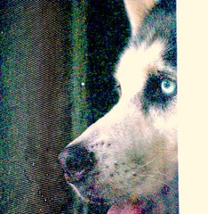 GNC_0036_2.jpg (GButterfly) Tags: dog face husky kansas strider stormnight inmyownbackyard