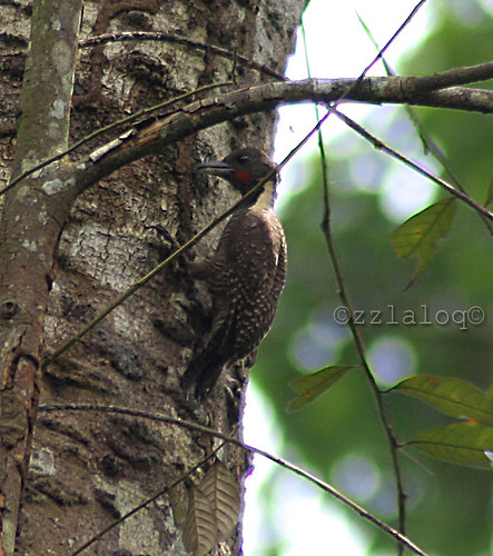 Belatuk Leher Kuning @  Buff-necked Woodpecker