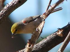 Verdin 2544F (jvpowell) Tags: birds sonora mexico pájaros alamos verdin auriparusflaviceps baloncillo