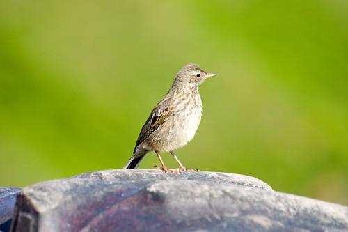 Juvenile thrush?