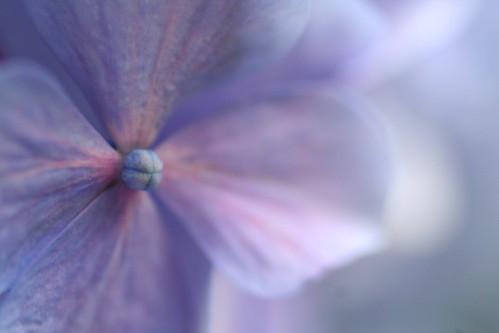 hydrangea: blue