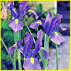 olio su tela del fiore pi bello del mondo... (danielelive! restiamo umani e vivi lol!) Tags: iris love amore
