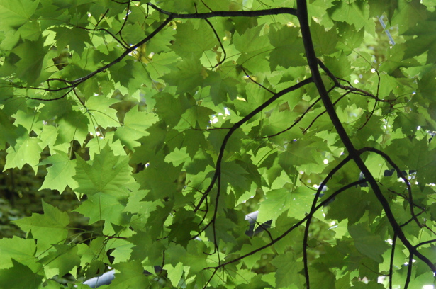 green_leaf_canopy