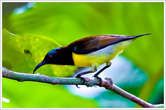 male Purple-Rumped Sunbird (kcbimal) Tags: black male bird yellow canon small kerala sunbird nectarinia zeylonica purplerumped 400d