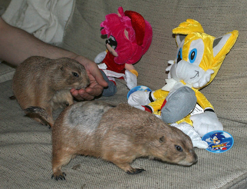 Pet Prairie Dogs on Couch