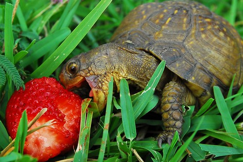 Baby Turtle Eating Strawberry - Great Picture! Wanderings