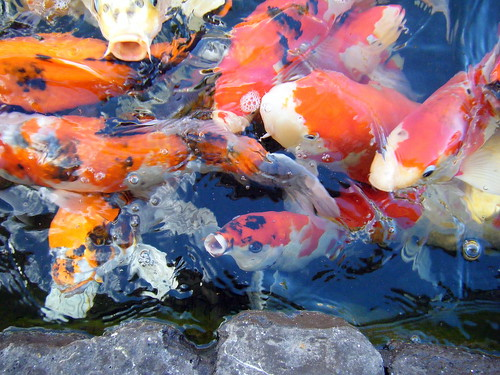 Hungry Koi