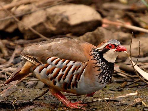Red-legged partridge  ( Alectoris rufa ) by diegocon1964.